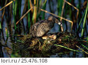 Купить «Pied-billed grebe with eggs on nest {Podilymbus podiceps} Texas, USA», фото № 25476108, снято 12 июля 2020 г. (c) Nature Picture Library / Фотобанк Лори