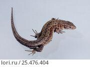 Купить «Viviparous lizard {Lacerta vivipara} captive», фото № 25476404, снято 3 апреля 2020 г. (c) Nature Picture Library / Фотобанк Лори