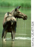 Купить «Female Moose feeding in lake {Alces alces} British Columbia, Canada», фото № 25477024, снято 23 июля 2018 г. (c) Nature Picture Library / Фотобанк Лори
