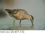 Купить «Long billed dowitcher feeding in water {Limnodromus scolopaceus} Texas, USA.», фото № 25477172, снято 14 июля 2020 г. (c) Nature Picture Library / Фотобанк Лори