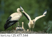 Купить «White stork chick stretching wings on nest {Ciconia ciconia} Alsace, France», фото № 25477544, снято 27 июня 2019 г. (c) Nature Picture Library / Фотобанк Лори