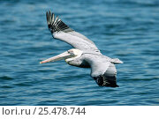 Brown pelican flying over water {Pelecanus occidentalis} Sanibel Is, Florida, USA. Стоковое фото, фотограф Rolf Nussbaumer / Nature Picture Library / Фотобанк Лори