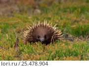 Купить «Short billed echnida {Tachyglossus aculeatus} Tasmania», фото № 25478904, снято 20 июня 2019 г. (c) Nature Picture Library / Фотобанк Лори