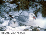 Купить «Southern fulmar with chick in snow {Fulmarus glacialoides} Antarctica», фото № 25478908, снято 24 февраля 2020 г. (c) Nature Picture Library / Фотобанк Лори