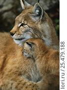 Купить «Lynx with young {Lynx Lynx} Norway. captive», фото № 25479188, снято 19 сентября 2019 г. (c) Nature Picture Library / Фотобанк Лори
