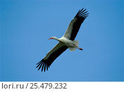 Купить «White stork flying {Ciconia ciconia}», фото № 25479232, снято 21 января 2019 г. (c) Nature Picture Library / Фотобанк Лори