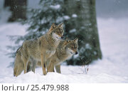 European grey wolves {Canis lupus} in snow, Bayerischer wald, Germany, captive. Стоковое фото, фотограф Eric Baccega / Nature Picture Library / Фотобанк Лори