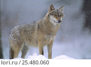 European grey wolf {Canis lupus} snowing, Bayerischer wald NP, Germany, captive. Стоковое фото, фотограф Eric Baccega / Nature Picture Library / Фотобанк Лори