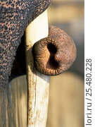 Close-up of trunk and tusk of Indian elephant {Elephas maximus} Kanha NP, India. Стоковое фото, фотограф Nick Garbutt / Nature Picture Library / Фотобанк Лори