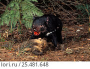 Купить «Tasmanian devil {Sarcophilus harrisii} scavenging common Wombat carcass, Mt Williams NP, Tasmania», фото № 25481648, снято 22 октября 2019 г. (c) Nature Picture Library / Фотобанк Лори