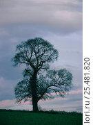 Купить «English elm tree silhouette in winter {Ulmus procera} UK», фото № 25481820, снято 15 августа 2018 г. (c) Nature Picture Library / Фотобанк Лори