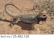 Inland bearded dragon, male threat display {Pogona vitticeps} NT, Australia. Стоковое фото, фотограф Robert Valentic / Nature Picture Library / Фотобанк Лори