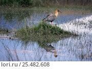 Купить «Buff necked ibis {Theristicus caudatus} Torres del Paine NP, Chile», фото № 25482608, снято 12 декабря 2017 г. (c) Nature Picture Library / Фотобанк Лори