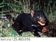 Купить «Tasmanian devil {Sarcophilus harrisii} scavenging common Wombat carcass, Mt Williams NP, Tasmania», фото № 25483016, снято 22 октября 2019 г. (c) Nature Picture Library / Фотобанк Лори