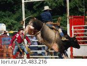 Купить «Man on bucking bull at Rodeo, USA», фото № 25483216, снято 19 июля 2018 г. (c) Nature Picture Library / Фотобанк Лори