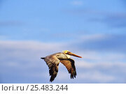 Brown pelican in flight (Pelecanus occidentalis) Sea of Cortez, Mexico. Стоковое фото, фотограф John Cancalosi / Nature Picture Library / Фотобанк Лори