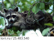 Southern racoon {Procyon lotor} feeding on berries and resting in tree. Ding Darling WR, Стоковое фото, фотограф Steven David Miller / Nature Picture Library / Фотобанк Лори