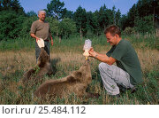 Купить «Two orphan Brown bear cubs being bottle fed {Ursus arctos} captive Czech republic», фото № 25484112, снято 8 мая 2020 г. (c) Nature Picture Library / Фотобанк Лори
