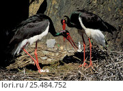 Купить «Black stork pair greeting display at nest {Ciconia nigra} Portugal», фото № 25484752, снято 16 февраля 2019 г. (c) Nature Picture Library / Фотобанк Лори