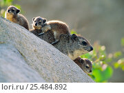 Rock hyrax family on rock {Procavia capensis} Masai mara, Kenya. Стоковое фото, фотограф Anup Shah / Nature Picture Library / Фотобанк Лори