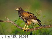 Harris' hawk portrait {Parabuteo unicinctus} Texas, USA. Стоковое фото, фотограф John Cancalosi / Nature Picture Library / Фотобанк Лори