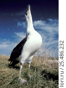 Laysan albatross display (Phoebastria immutabilis) Midway Atoll Pacific. Стоковое фото, фотограф Michael Pitts / Nature Picture Library / Фотобанк Лори