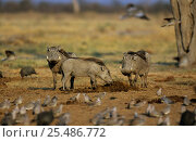 Купить «Warthogs {Phacochoerus aethiopicus} feeding on fresh elephant dung with flock of Ring necked doves in the foreground, Botswana», фото № 25486772, снято 17 июля 2018 г. (c) Nature Picture Library / Фотобанк Лори