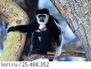 Купить «Eastern Black and white colobus monkey holding baby {Colobus guereza} in tree Kenya», фото № 25488352, снято 21 января 2020 г. (c) Nature Picture Library / Фотобанк Лори