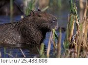 Capybara {Hydrochoerus hydrochaeris} Ibera marshes, Argentina. Стоковое фото, фотограф Gabriel Rojo / Nature Picture Library / Фотобанк Лори