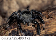 Jumping spider {Salticidae} Watamu, Kenya. Стоковое фото, фотограф David Shale / Nature Picture Library / Фотобанк Лори