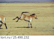 Przewalski horse, kick threat with ears back {Equus ferus przewalski} USA. Стоковое фото, фотограф David Shale / Nature Picture Library / Фотобанк Лори