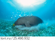 Dugong grazing on seagrass {Dugong dugon} Indo Pacific. Стоковое фото, фотограф Jurgen Freund / Nature Picture Library / Фотобанк Лори