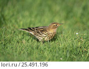 Red throated pipit {Anthus cervinus} Lesvos, Green lesbos. Стоковое фото, фотограф DAVID TIPLING / Nature Picture Library / Фотобанк Лори