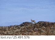 Hartmann's mountain zebra (Equus zebra hartmannae) Damaraland, Namibia. Стоковое фото, фотограф Tony Heald / Nature Picture Library / Фотобанк Лори
