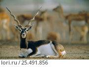 Blackbuck male resting {Antilope cervicapra} Thar desert, Rajasthan, India. Стоковое фото, фотограф Bernard Castelein / Nature Picture Library / Фотобанк Лори