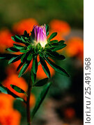 Купить «Callistephus chinensis flower bud, Sweden», фото № 25491968, снято 15 августа 2018 г. (c) Nature Picture Library / Фотобанк Лори