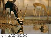 Blackbuck male drinking {Antilope cervicapra} Thar desert, Rajasthan, India. Стоковое фото, фотограф Bernard Castelein / Nature Picture Library / Фотобанк Лори