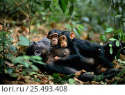 Female Chimpanzee 'Fanni' 20-years-old, resting with sons Fundi, 17-months-old, and Fudge, 5-years-old {Pan troglodytes schweinfurtheii} Gombe NP, Tanzania. 2002. Стоковое фото, фотограф Anup Shah / Nature Picture Library / Фотобанк Лори