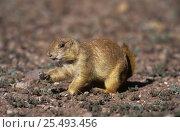 Купить «Black tailed prairie dog (Cynomys ludovicianus) feeding, Chihuahua, Mexico», фото № 25493456, снято 2 июня 2020 г. (c) Nature Picture Library / Фотобанк Лори