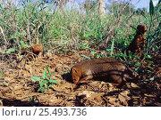 Dwarf mongooses {Helogale parvula} foraging. Tsavo East NP, Kenya. Стоковое фото, фотограф Jabruson / Nature Picture Library / Фотобанк Лори