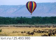 Купить «Hot air safari balloon above Wildebeest herd {Connochaetes taurinus} Masai Mara NR Kenya, animals on annual migration», фото № 25493980, снято 23 июля 2018 г. (c) Nature Picture Library / Фотобанк Лори