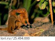 Купить «Dwarf mongoose with baby {Helogale undulata} Serengeti NP, Tanzania, East Africa», фото № 25494000, снято 26 февраля 2020 г. (c) Nature Picture Library / Фотобанк Лори