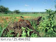 Dwarf mongooses {Helogale parvula} foraging with Mt Kilimanjaro behind, Tsavo East NP, Kenya. Стоковое фото, фотограф Jabruson / Nature Picture Library / Фотобанк Лори
