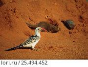 D - Red billed hornbill {Tockus erythrorhynchus} + Dwarf mongooses {Helogale parvula} on termite mound. Tsavo East NP, Kenya. Стоковое фото, фотограф Jabruson / Nature Picture Library / Фотобанк Лори