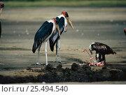 Juvenile African fish eagle {Haliaeetus vocifer} feeds on Lesser flamingo {Phoeniconaias minor} with Marabou storks {Leptoptilos crumeniferus} standing sentinel. Lake Nakuru NP, Kenya. Стоковое фото, фотограф Jabruson / Nature Picture Library / Фотобанк Лори