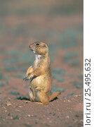 Купить «Black tailed prairie dog on guard {Cynomys ludovicianus} Mexico», фото № 25495632, снято 2 июня 2020 г. (c) Nature Picture Library / Фотобанк Лори