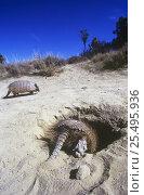 Купить «Hairy armadillo disappearing into burrow {Chaetophractus villosus} Valdez, Patagonia, Argentina», фото № 25495936, снято 14 августа 2018 г. (c) Nature Picture Library / Фотобанк Лори