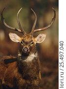 Купить «Eld's deer {Cervus eldi} male portrait, Keibul Lamjao Sanctuary, Manipur, India. Known locally as Sangai or Brow-antlered deer. Endemic threatened species.», фото № 25497040, снято 21 июля 2018 г. (c) Nature Picture Library / Фотобанк Лори