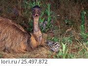 Emu and chick {Dromaius novaehallandiae} Australia. Стоковое фото, фотограф Dave Watts / Nature Picture Library / Фотобанк Лори