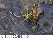 Купить «Raft spider {Dolomedes fimbriatus} on water, UK», фото № 25498116, снято 25 апреля 2018 г. (c) Nature Picture Library / Фотобанк Лори